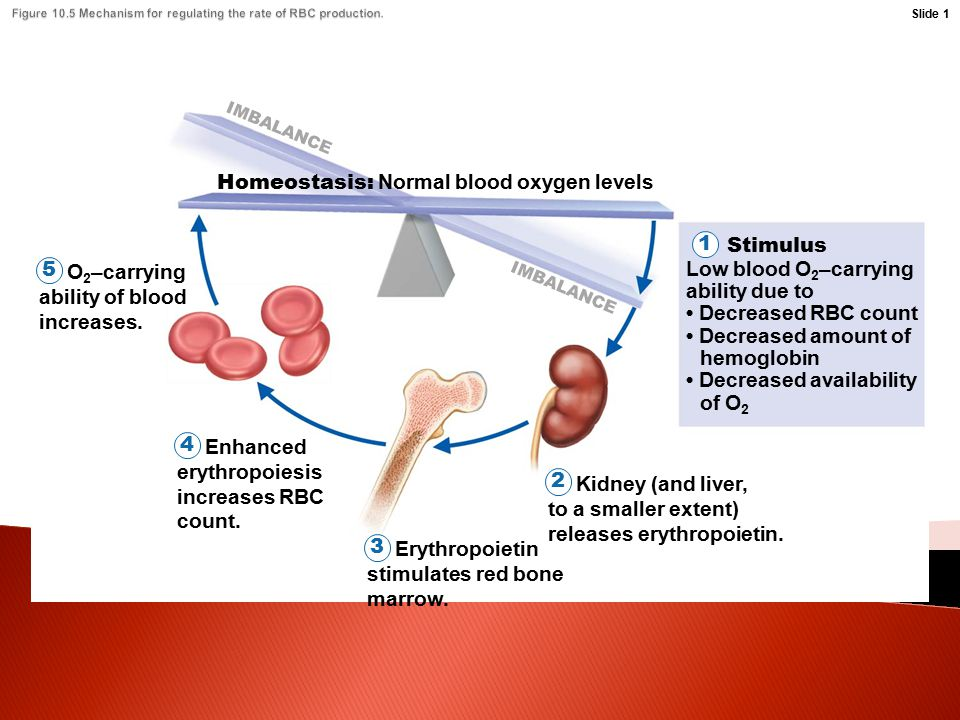 Stimulus Homeostasis: Normal blood oxygen levels 1 IMBALANCE Low blood O 2 –carrying ability due to Decreased RBC count Decreased amount of hemoglobin Decreased availability of O 2 Kidney (and liver, to a smaller extent) releases erythropoietin.