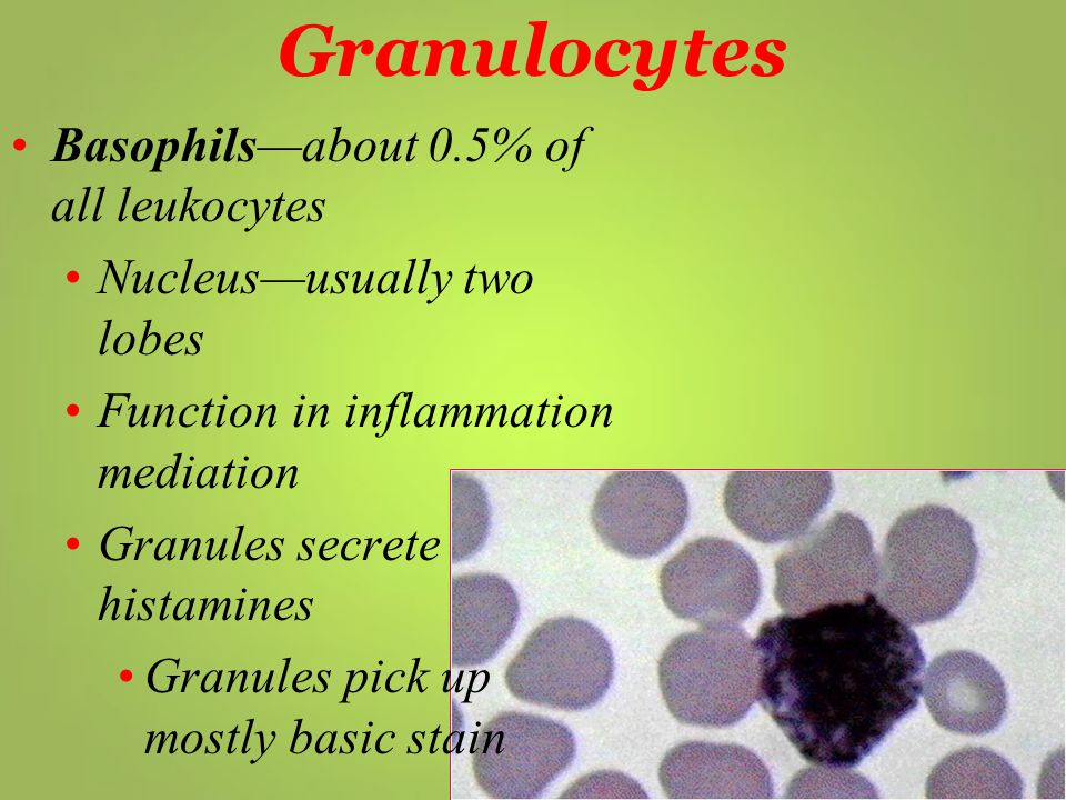 Basophils—about 0.5% of all leukocytes Nucleus—usually two lobes Function in inflammation mediation Granules secrete histamines Granules pick up mostl
