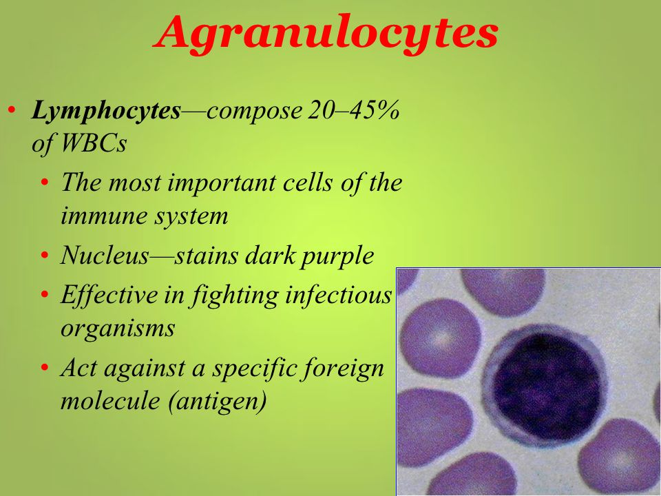 Agranulocytes Lymphocytes—compose 20–45% of WBCs The most important cells of the immune system Nucleus—stains dark purple Effective in fighting infect