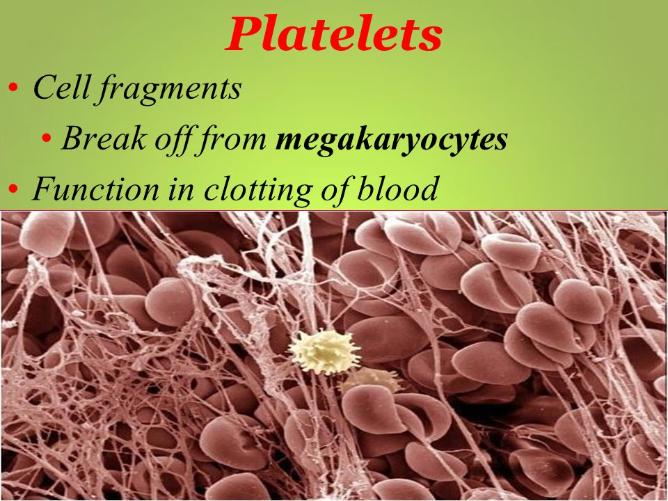 Platelets Cell fragments Break off from megakaryocytes Function in clotting of blood