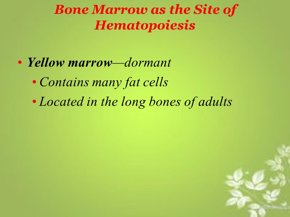 Bone Marrow as the Site of Hematopoiesis Yellow marrow—dormant Contains many fat cells Located in the long bones of adults