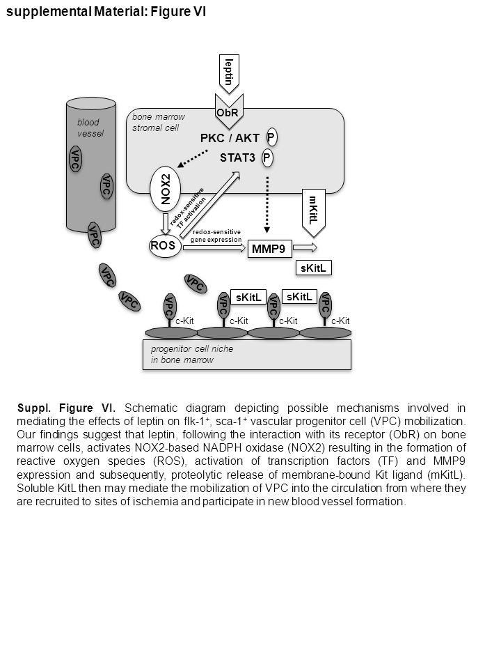 supplemental Material: Figure VI Suppl. Figure VI. Schematic diagram depicting possible mechanisms involved in mediating the effects of leptin on flk-