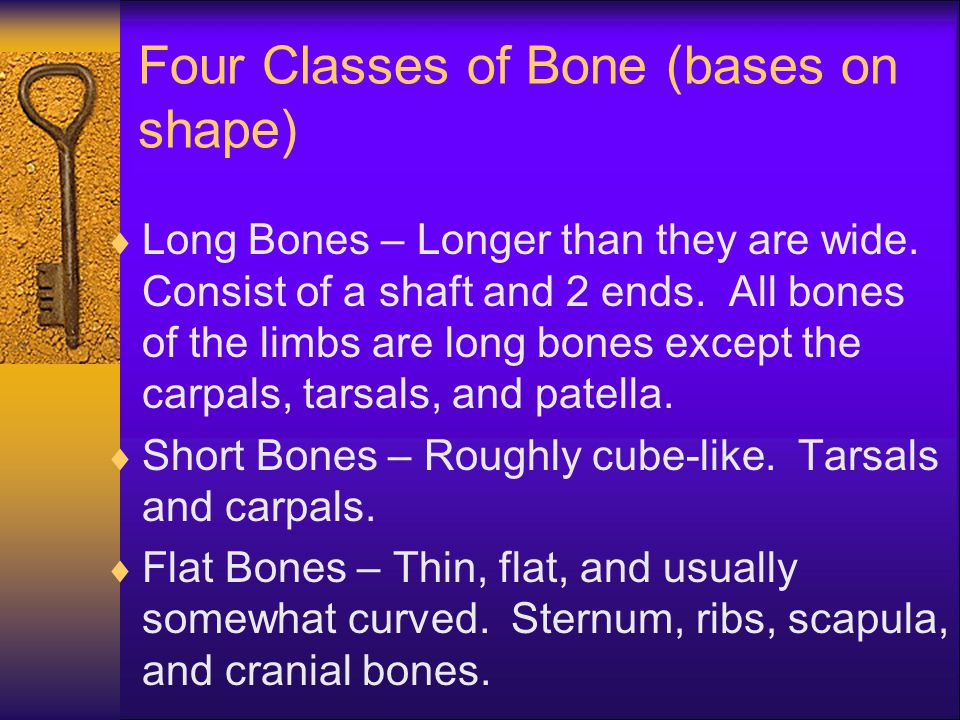 Four Classes of Bone (bases on shape)  Long Bones – Longer than they are wide. Consist of a shaft and 2 ends. All bones of the limbs are long bones e