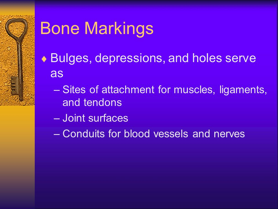 Bone Markings  Bulges, depressions, and holes serve as –Sites of attachment for muscles, ligaments, and tendons –Joint surfaces –Conduits for blood v
