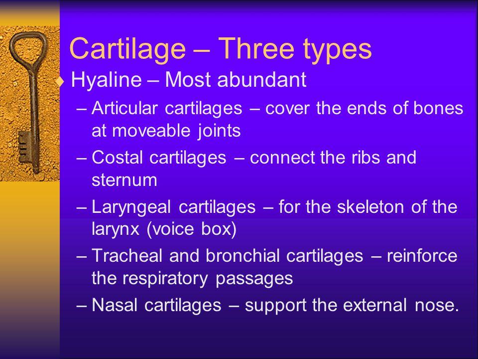 Cartilage  Elastic – Contains more stretchy elastic fibers.