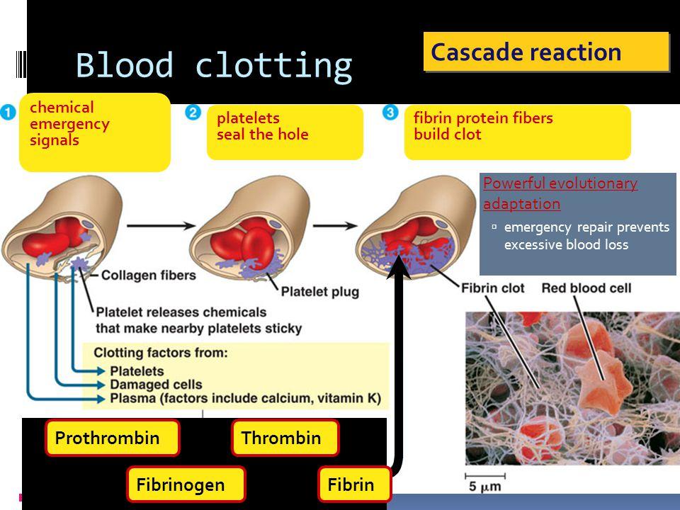 Hemostasis: Vasoconstriction & Plug Formation