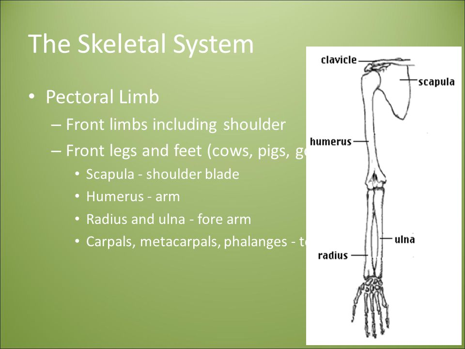 The Skeletal System Pectoral Limb – Front limbs including shoulder – Front legs and feet (cows, pigs, goats, horses) Scapula - shoulder blade Humerus - arm Radius and ulna - fore arm Carpals, metacarpals, phalanges - toes