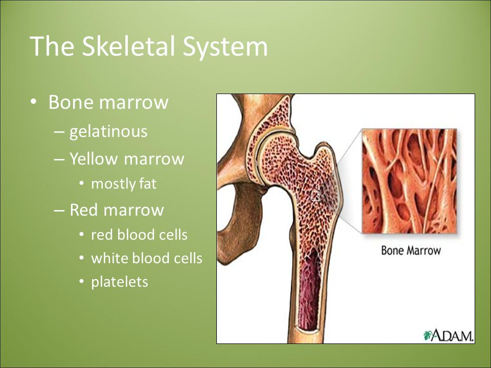 The Skeletal System Bone marrow – gelatinous – Yellow marrow mostly fat – Red marrow red blood cells white blood cells platelets