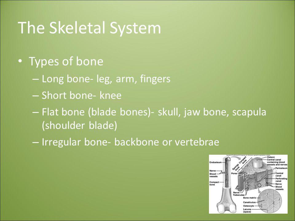 The Skeletal System Types of bone – Long bone- leg, arm, fingers – Short bone- knee – Flat bone (blade bones)- skull, jaw bone, scapula (shoulder blade) – Irregular bone- backbone or vertebrae