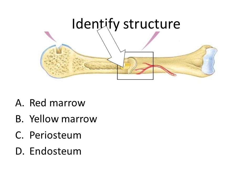 Identify structure A.Red marrow B.Yellow marrow C.Periosteum D.Endosteum