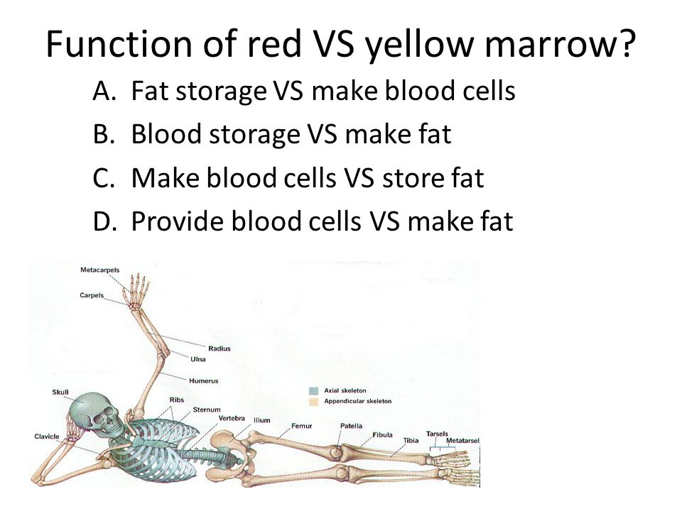 Function of red VS yellow marrow.