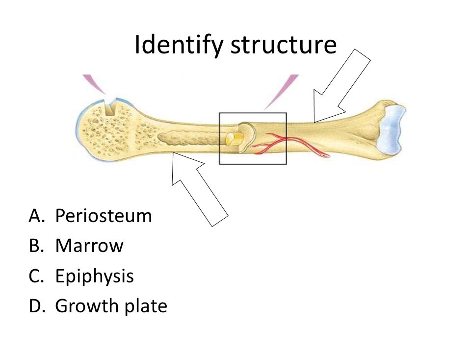 Identify structure A.Periosteum B.Marrow C.Epiphysis D.Growth plate