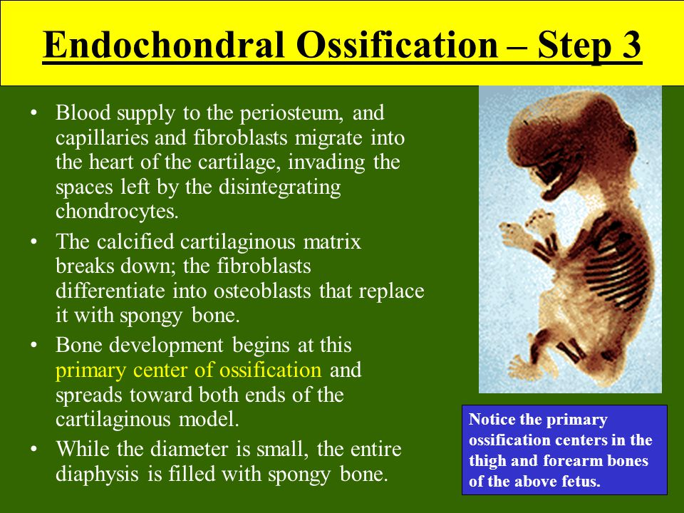 Endochondral Ossification – Step 3 Blood supply to the periosteum, and capillaries and fibroblasts migrate into the heart of the cartilage, invading the spaces left by the disintegrating chondrocytes.