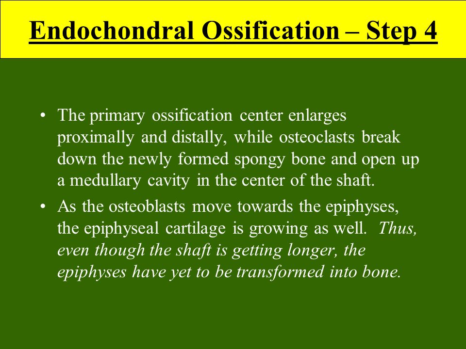 Endochondral Ossification – Step 4 The primary ossification center enlarges proximally and distally, while osteoclasts break down the newly formed spongy bone and open up a medullary cavity in the center of the shaft.