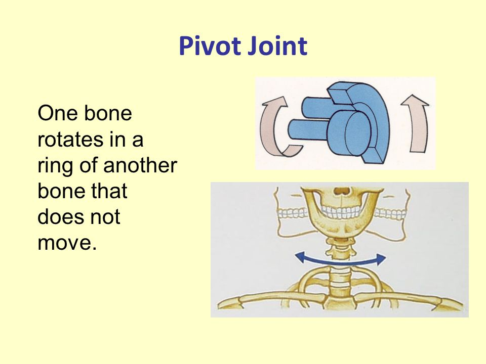 Pivot Joint One bone rotates in a ring of another bone that does not move.