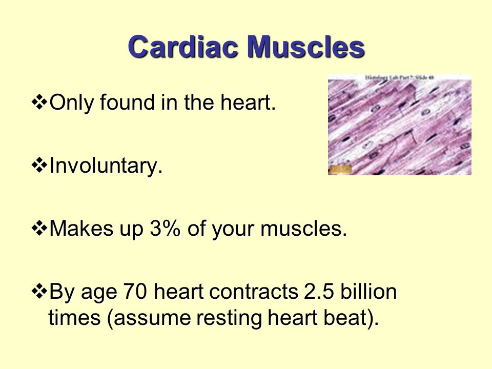 Cardiac Muscles  Only found in the heart.  Involuntary.  Makes up 3% of your muscles.  By age 70 heart contracts 2.5 billion times (assume resting