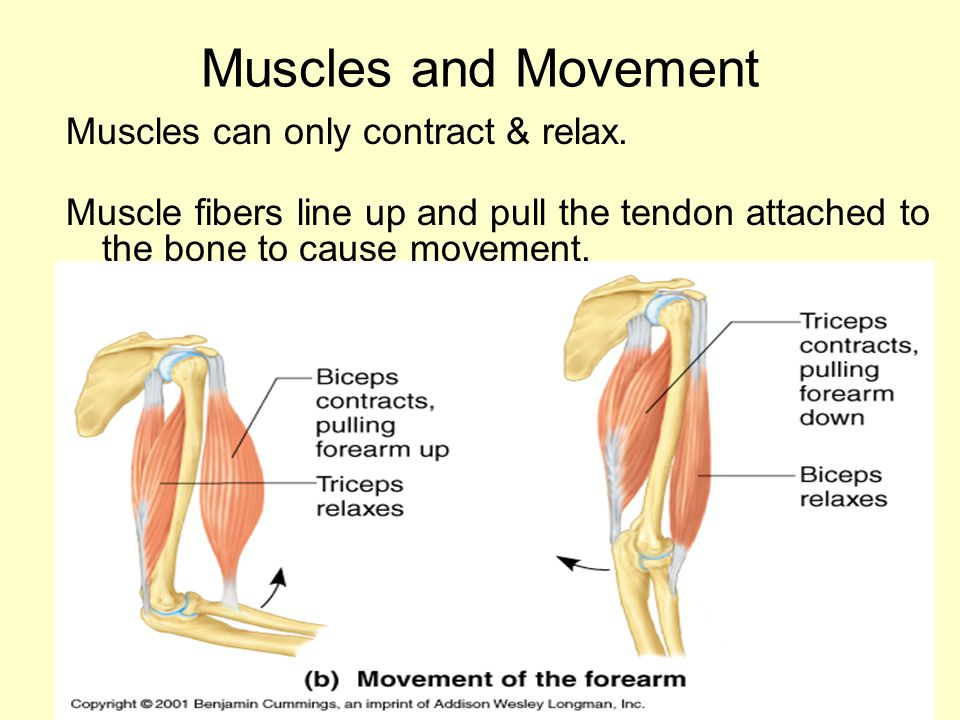 Muscles and Movement Muscles can only contract & relax. Muscle fibers line up and pull the tendon attached to the bone to cause movement.