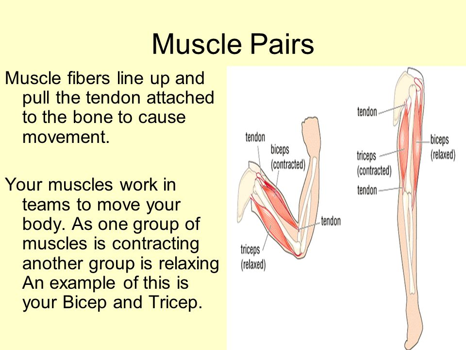 Muscle Pairs Muscle fibers line up and pull the tendon attached to the bone to cause movement. Your muscles work in teams to move your body. As one gr