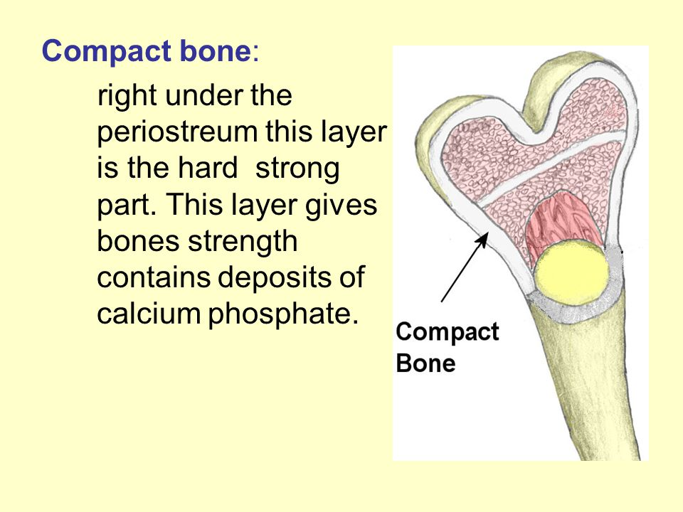 Compact bone: right under the periostreum this layer is the hard strong part. This layer gives bones strength contains deposits of calcium phosphate.