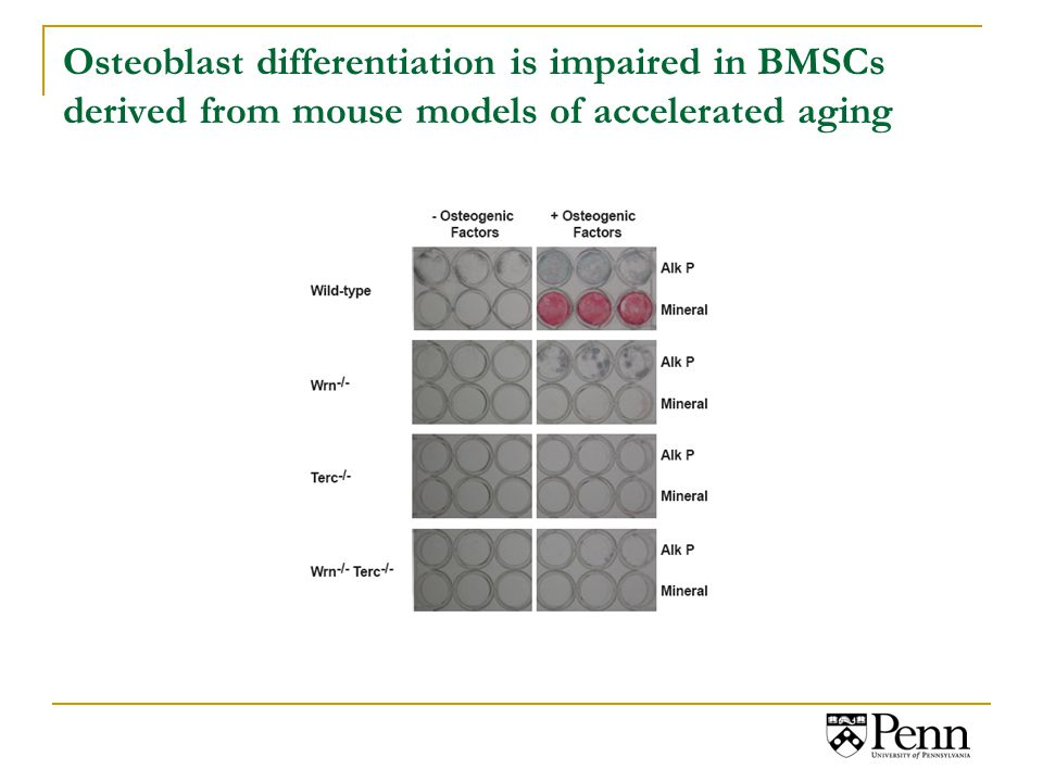 Osteoblast differentiation is impaired in BMSCs derived from mouse models of accelerated aging