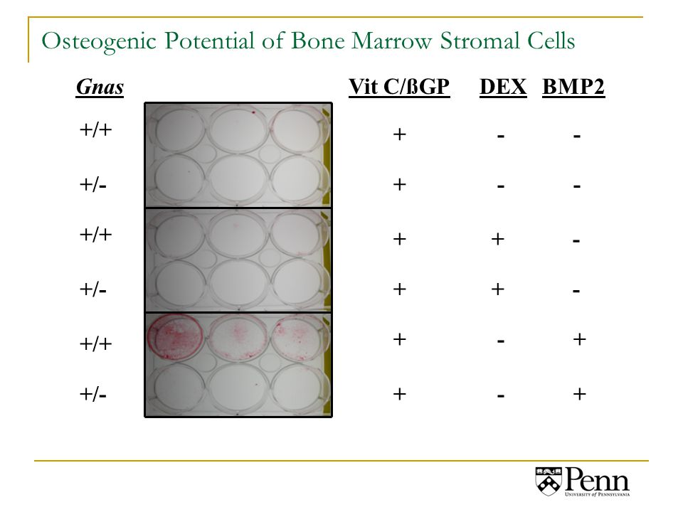 Osteogenic Potential of Bone Marrow Stromal Cells Vit C/ßGPDEXBMP2Gnas +/+ +/- + - - + + - + - +