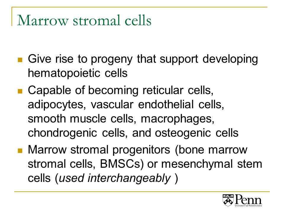 Marrow stromal cells Give rise to progeny that support developing hematopoietic cells Capable of becoming reticular cells, adipocytes, vascular endothelial cells, smooth muscle cells, macrophages, chondrogenic cells, and osteogenic cells Marrow stromal progenitors (bone marrow stromal cells, BMSCs) or mesenchymal stem cells (used interchangeably )