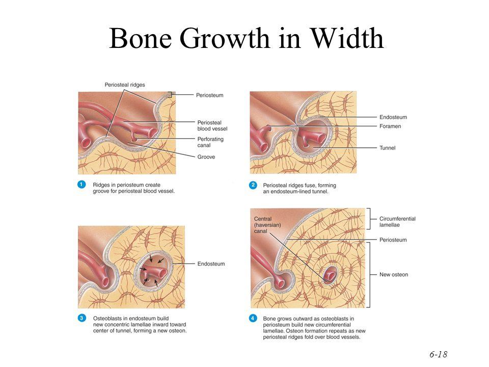 6-18 Bone Growth in Width