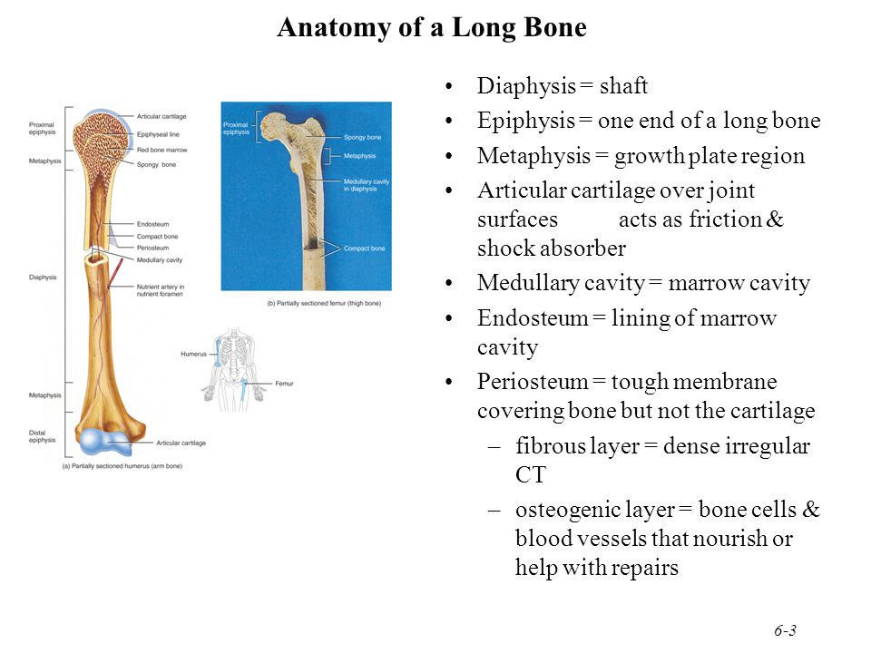 6-3 Anatomy of a Long Bone Diaphysis = shaft Epiphysis = one end of a long bone Metaphysis = growth plate region Articular cartilage over joint surfac