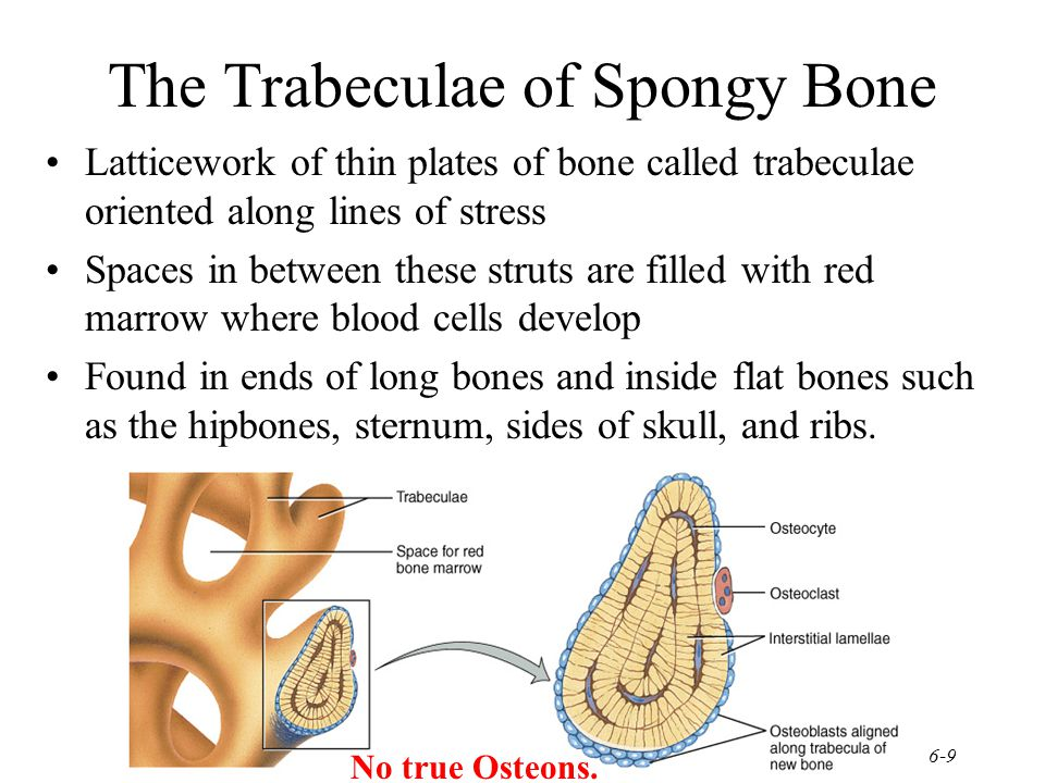 6-9 The Trabeculae of Spongy Bone Latticework of thin plates of bone called trabeculae oriented along lines of stress Spaces in between these struts a