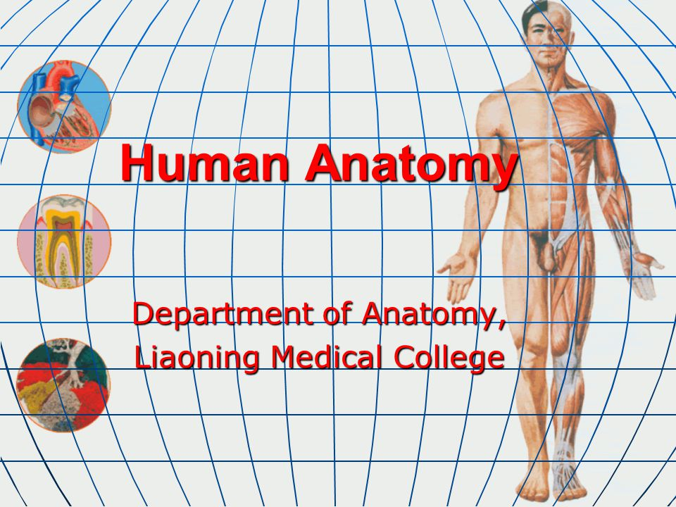 Human Anatomy Department of Anatomy, Liaoning Medical College