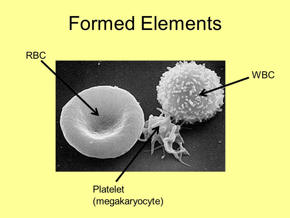 Formed Elements RBC WBC Platelet (megakaryocyte)