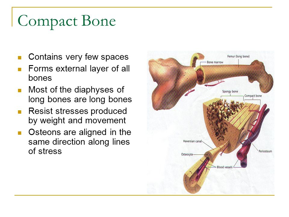 Compact Bone Continued In the shaft, osteons are parallel to the long axis of the bone As a result, the shaft resists bending or fracturing when considerable for is applied from either end Compact bone is thickest where stresses are applied in relatively few directions The lines of stress in a bone are not static They change in response to repeated strenuous physical activity