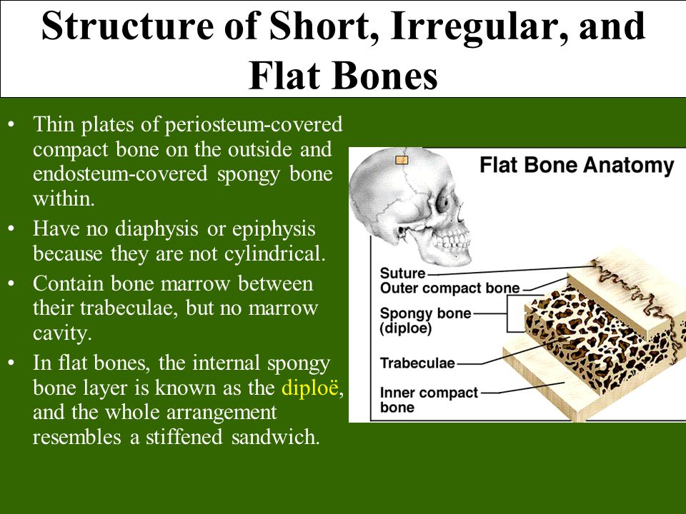Structure of Short, Irregular, and Flat Bones Thin plates of periosteum-covered compact bone on the outside and endosteum-covered spongy bone within.