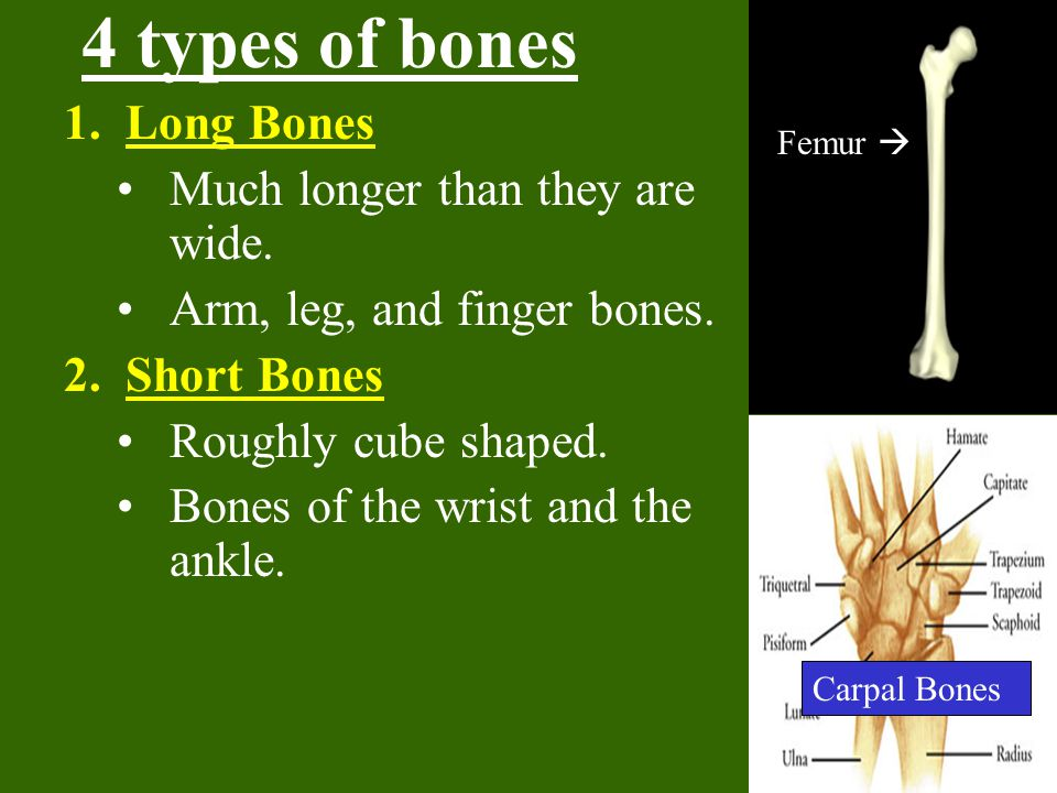 4 types of bones 1.Long Bones Much longer than they are wide.