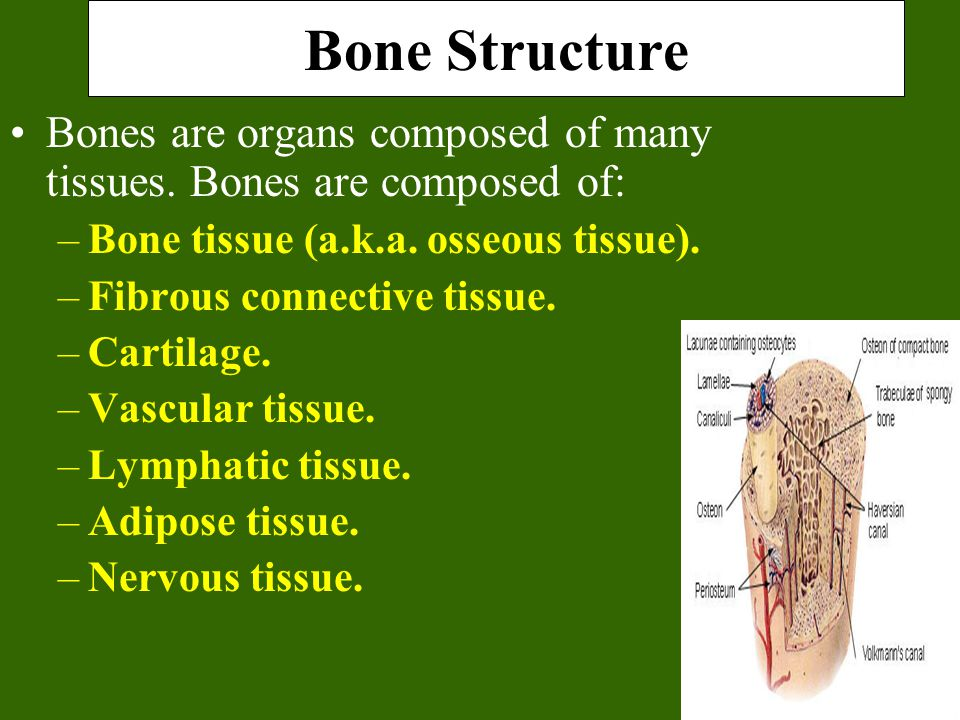 Bone Structure Bones are organs composed of many tissues.
