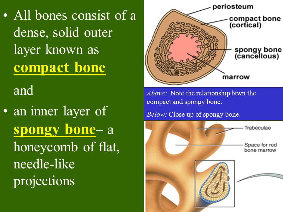 Long Bone Structure The external surface of the entire bone except for the joint surfaces of the epiphyses is covered by a double-layered membrane known as the periosteum.