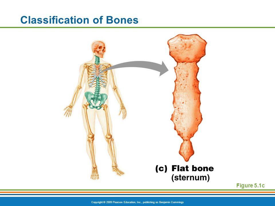 Copyright © 2009 Pearson Education, Inc., publishing as Benjamin Cummings Classification of Bones Figure 5.1c
