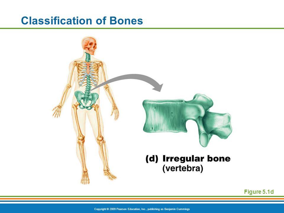 Copyright © 2009 Pearson Education, Inc., publishing as Benjamin Cummings Classification of Bones Figure 5.1d