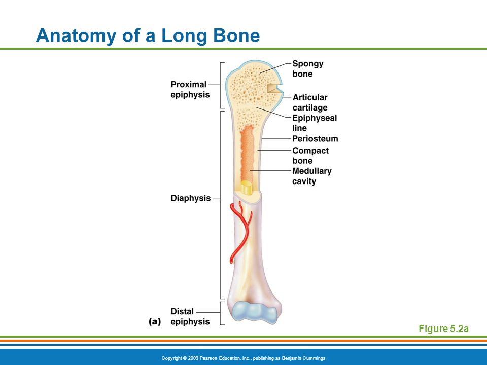 Copyright © 2009 Pearson Education, Inc., publishing as Benjamin Cummings Anatomy of a Long Bone Figure 5.2a