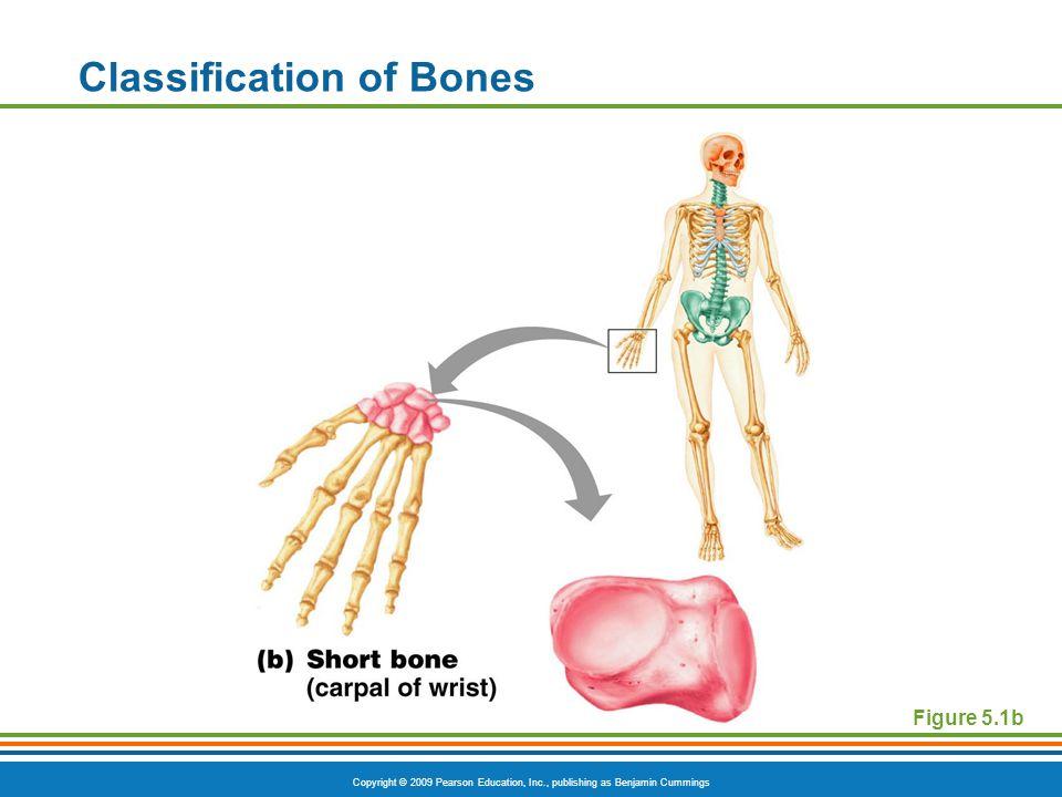 Copyright © 2009 Pearson Education, Inc., publishing as Benjamin Cummings Classification of Bones Figure 5.1b