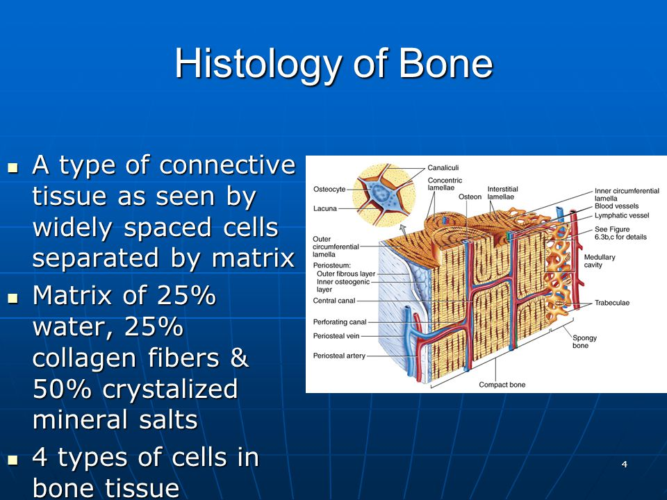 4 Histology of Bone A type of connective tissue as seen by widely spaced cells separated by matrix A type of connective tissue as seen by widely spaced cells separated by matrix Matrix of 25% water, 25% collagen fibers & 50% crystalized mineral salts Matrix of 25% water, 25% collagen fibers & 50% crystalized mineral salts 4 types of cells in bone tissue 4 types of cells in bone tissue