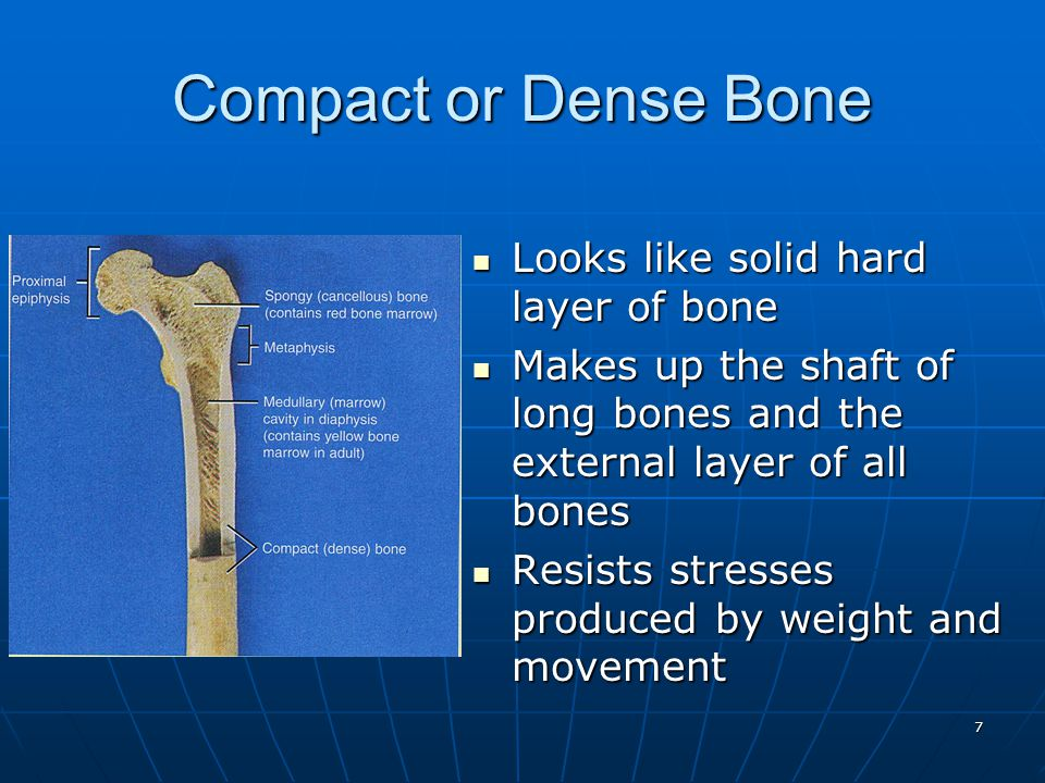 18 Zones of Growth in Epiphyseal Plate Zone of resting cartilage Zone of resting cartilage anchors growth plate to boneanchors growth plate to bone Zone of proliferating cartilage Zone of proliferating cartilage rapid cell division (stacked coins)rapid cell division (stacked coins) Zone of hypertrophic cartilage Zone of hypertrophic cartilage cells enlarged & remain in columnscells enlarged & remain in columns Zone of calcified cartilage Zone of calcified cartilage thin zone, cells mostly dead since matrix calcifiedthin zone, cells mostly dead since matrix calcified osteoclasts removing matrixosteoclasts removing matrix osteoblasts & capillaries move in to create bone over calcified cartilageosteoblasts & capillaries move in to create bone over calcified cartilage