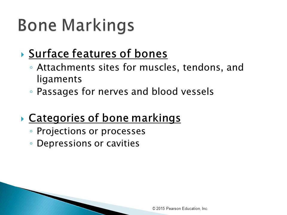  Surface features of bones ◦ Attachments sites for muscles, tendons, and ligaments ◦ Passages for nerves and blood vessels  Categories of bone marki