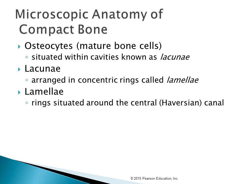  Osteocytes (mature bone cells) ◦ situated within cavities known as lacunae  Lacunae ◦ arranged in concentric rings called lamellae  Lamellae ◦ rin