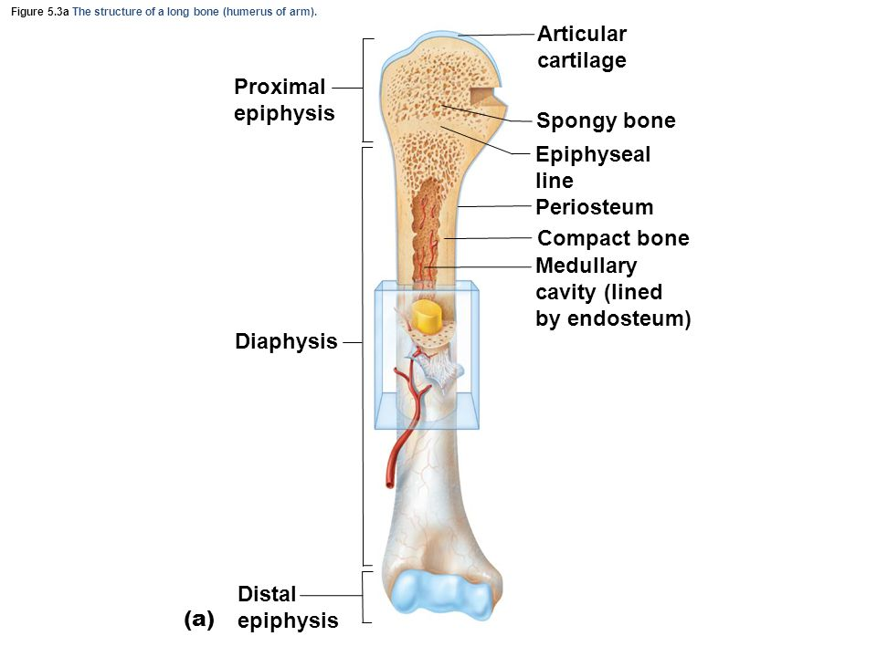 Figure 5.3a The structure of a long bone (humerus of arm). Proximal epiphysis Diaphysis Distal epiphysis (a) Articular cartilage Spongy bone Epiphysea