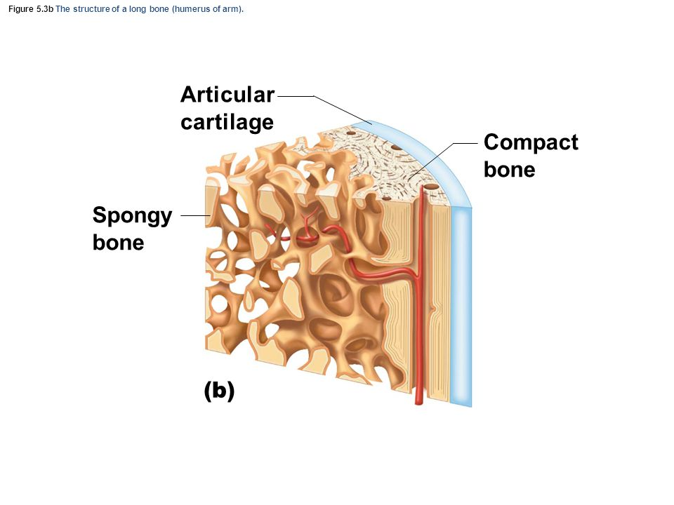 Figure 5.3b The structure of a long bone (humerus of arm). (b) Articular cartilage Spongy bone Compact bone