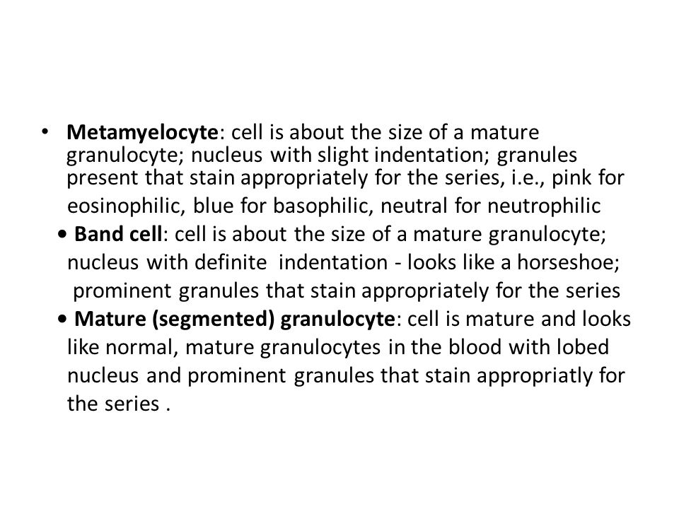 Metamyelocyte: cell is about the size of a mature granulocyte; nucleus with slight indentation; granules present that stain appropriately for the series, i.e., pink for eosinophilic, blue for basophilic, neutral for neutrophilic Band cell: cell is about the size of a mature granulocyte; nucleus with definite indentation - looks like a horseshoe; prominent granules that stain appropriately for the series Mature (segmented) granulocyte: cell is mature and looks like normal, mature granulocytes in the blood with lobed nucleus and prominent granules that stain appropriatly for the series.