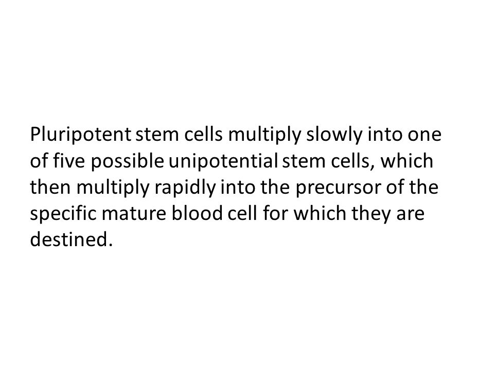Pluripotent stem cells multiply slowly into one of five possible unipotential stem cells, which then multiply rapidly into the precursor of the specific mature blood cell for which they are destined.