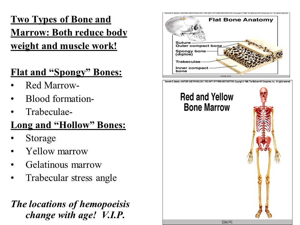 "Two Types of Bone and Marrow: Both reduce body weight and muscle work! Flat and ""Spongy"" Bones: Red Marrow- Blood formation- Trabeculae- Long and ""Hol"