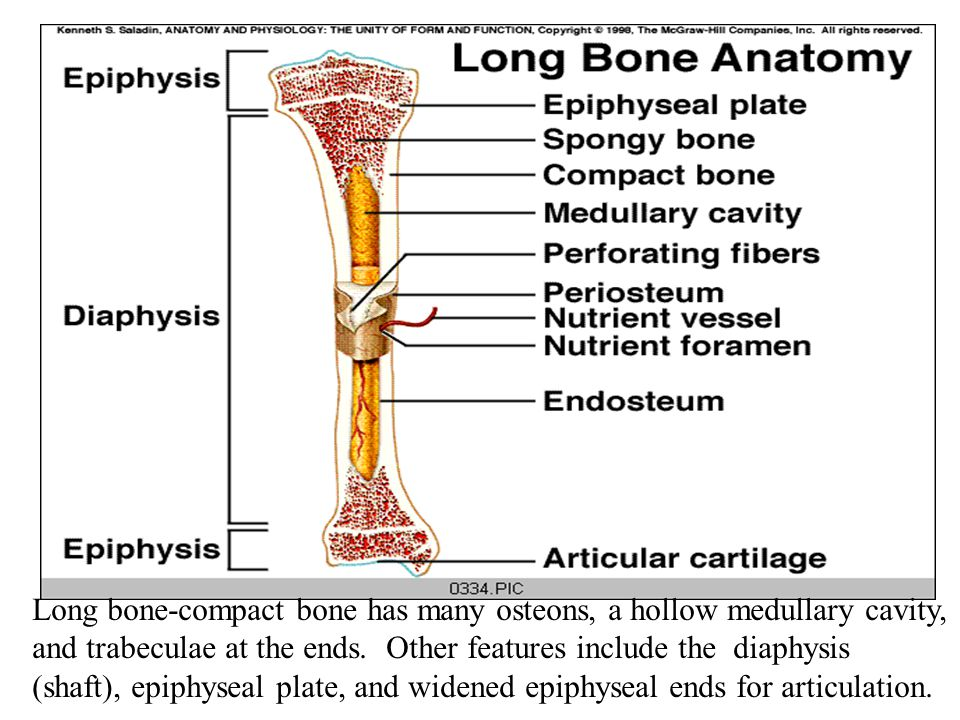 Long bone-compact bone has many osteons, a hollow medullary cavity, and trabeculae at the ends. Other features include the diaphysis (shaft), epiphyse